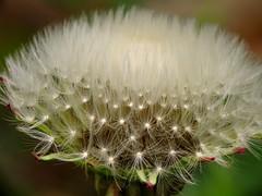 Dandelion (thatSandygirl) Tags: dandelion fluff soft white outdoor nature weed plant macro seeds flower spring bokeh