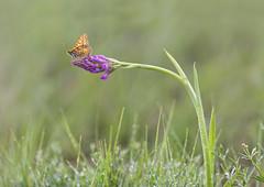 Pista de despegue (Rafael Díez) Tags: españa paisvasco alava moreda naturaleza primavera macro rafaeldíez mariposa flor orquídea melitaea agua gotas verde hierba