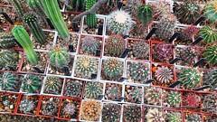 Cactus, à Baltchik (Véronique3) Tags: bulgaria bulgarie balcic baltchik balchik cactus cactées cactacées cactaceae балчик българия