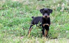 Lost Puppy . (rlbarn) Tags: dog puppy jack russel jagd terrier