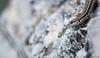 Podarcis hispanica (Kntraste) Tags: podarcis hispanica lacertidae squamata lagartija ibérica lizard wildlife nature