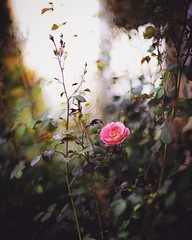 first bloom (coral staley-hall) Tags: canon 6d 85l bokeh rose pink flowers summer moody 85mmf12l 12l