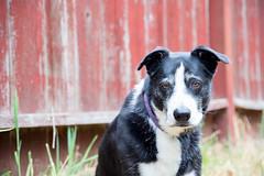 Bonny & the Red Fence 23/52/2017 (smile KB) Tags: 52weeksfordogs bonny redfence dog foggy
