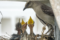 Motherhod is for Life (J. E. Foster) Tags: caribbean mimusgilvus nikond7100 sigma150500mmf563dgoshsm trinidadandtobago yerette animal bird chicks feeding nature nest tropicalmockingbird wildlife motherhood mother mom mommy baby babies crying mothersday