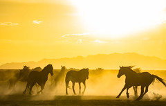 Wild Horse Dusty Sunset (Explored) (Jami Bollschweiler Photography) Tags: wild horse photography utah wildlife onaqui herd horses stallion running sunset red rock great basin west desert