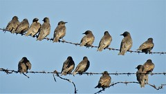 Starlings on Barbed Wire Fence - Cresswell (Gilli8888) Tags: countryside nature northumberland birds cresswell coast coastline starlings fence fenceline nikon p900 coolpix wire barbedwire nine four light shadow