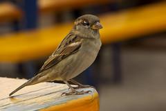 IMG_7778 (Lightcatcher66) Tags: spatzensparrows florafauna makros lightcatcher66