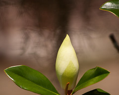 Magnolia Bud (AngelaC2009***) Tags: 2017 spring may florida riverview flower floweringtree magnolia bud canoneosdigitalrebelxt