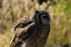 Owl on stand-by (JerryGoulet) Tags: wildlife outdoors england eagles birdsofprey gauntletbirdsofpreyeagleandvulturepark nikon nature conservationism owl redkit falcon flight