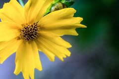 sunny (Coreopsis grandiflora)