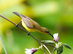 20170513-EM121569 (shutterblades) Tags: birds bishanamkpark olivebackedsunbird olympusem1mkii olympusmzuiko300mmf4pro