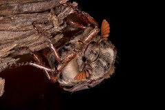 Feldmaikäfer (planetvielfalt) Tags: auenwald coleoptera melolonthinae polyphaga scarabaeidae scarabaeiformia schkeuditz sachsen deutschland