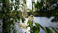 Birdcherry tree (alexyv) Tags: черемуха birdcherrytree вода water блики patches