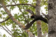 Black Woodpecker - Dryocopus martius (miika.k) Tags: palokärki spillkråka schwarzspecht blackwoodpecker woodpecker tikka hackspett spechte echtespechte
