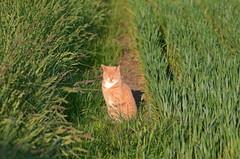 Ginger Cat,basking in the early morning sun,25:05:17 (murraymcbey) Tags: gingercat earlymorningsun