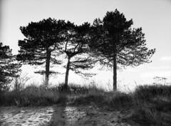 Three Pines (LarsHolte) Tags: pentax 645 pentax645 645n 6x45 smcpentaxfa 45mm f28 120 film 120film rollei rolleirpx rolleirpx100 100iso mediumformat analog analogue blackandwhite classicblackwhite bw monochrome filmforever ishootfilm filmphotography xtol jobo autolab atl1500 homeprocessing larsholte beach denmark danmark nivå nivåstrand trees pines