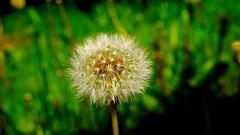 Dandelion.. (Davis Davisinski) Tags: a6000 sony flower dandelion green macro white