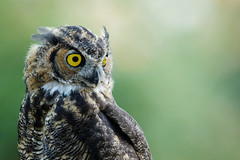 Great Horned Owl (just4memike) Tags: bird wildlife blurredbackground feather great horned owl raptor 7d mark ii 500 canon eye animal high iso ef f40 l is
