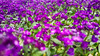 The Colour Purple (KWPashuk) Tags: samsung galaxy note5 lightroom kwpashuk kevinpashuk flora flower alyssum plant garden nursery dof depthoffield nature outdoors oakville ontario canada