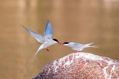 20170516_064750.jpg (jussidimitrijeff) Tags: bird helsinki vuosaari tern
