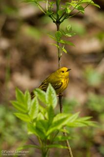 Paruline jaune (male) / Yellow Warbler (male)