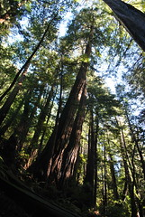 Sequoia sempervirens Muir Woods Jan 2017 (Aidehua2013) Tags: sequoia sempervirens cupressaceae pinales pinopsida pinophyta coastalredwood muirwoods marincounty california usa tree plant