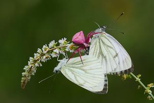 Pieris napi mating and spider