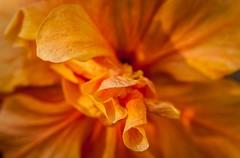 Fiery (dorinser) Tags: flower hibiscus bright fiery