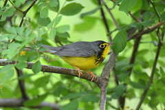 Canada Warbler (Digital Plume Hunter) Tags: