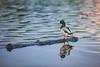 Duck on a log (michaelraleigh) Tags: 200mm hiawatha f28l serene highquality water lake minnehaha beautiful infocus bird secluded outdoors duck canoneos5dmarkii minneapolis canon minnesota