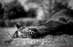 Good morning world.. (AnthonyCNeill) Tags: horse pferd caballo cheval lying wakening outdoor blackandwhite schwartzweiss blancetnoir blancaynegra nikon d750 85mm f14 bokeh shallowdepthoffield