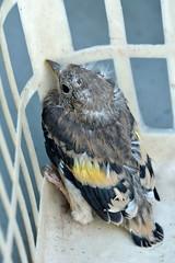 petit chardonneret (philjacq77) Tags: philjacq nikon d5200 bird chardonneret faune