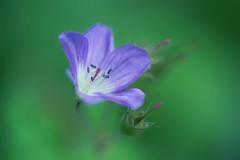 so fragile (christian mu) Tags: flowers nature spring bokeh botanischergarten botanicalgarden germany sonya7ii sony macro 9028g 90mm 9028 münster muenster