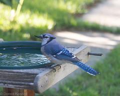 Blue jay (bratli) Tags: bluejay bill beak deformed edmonton alberta