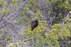 Turkey Vulture along the Snake River