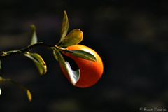 Calamondin Magic (roanfourie) Tags: calamondin orange fruit nikon d3100 nikkor 35mm bokeh flora floral