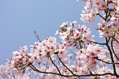DP3M2518 (bethom33) Tags: sigma dp3merrill dp3 merrill cherryblossom sakura kyoto japan