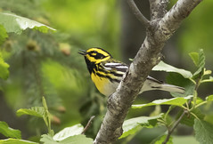 Townsend's Warbler (Chop_Merc) Tags: townsends warbler woodwarbler kelowna lake country britishcolumbia okanaganvalley canada douglasfirforest cottonwood ponderosapine explored hiking beaverlakeroad mixedforest