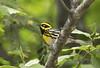 Townsend's Warbler (Chop_Merc) Tags: townsends warbler woodwarbler kelowna lake country britishcolumbia okanaganvalley canada douglasfirforest cottonwood ponderosapine explored hiking beaverlakeroad mixedforest