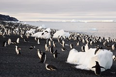 Chinstrap Penguins at Bailey Head, Shetland Islands, Antarctica (Scott Ableman) Tags: shetlandislands baileyhead chinstrappenguins chinstrappenguin chinstrap penguin nationalgeographicexpeditions lindbladexpeditions nationalgeographicorion antarctica