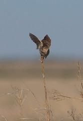 grsp-easterncimarronco-5-26-17-tl-02-cropscreen (pomarinejaeger) Tags: keyes oklahoma unitedstates bird grasshoppersparrow ammodramussavannarum