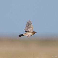 grsp-easterncimarronco-5-26-17-tl-10-cropscreen (pomarinejaeger) Tags: keyes oklahoma unitedstates bird grasshoppersparrow ammodramussavannarum
