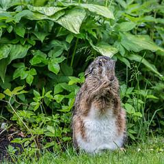 Våd hare (Kent 40D) Tags: hare våd regn have rude
