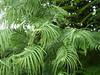 Wollemia Nobilis 10.06.2014. (NashiraExoticGarden) Tags: wollemianobilis exoticgarden exotentuin 10062014