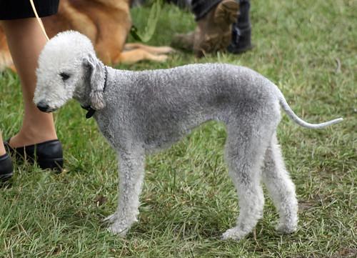Bedlington Terrier at dog show