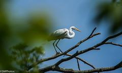 Great White Egret-2 (SMPhotos2548) Tags: bird egret nj newjersey dukesfarm farm