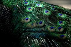 Elegance pour la soirée (carlo612001) Tags: eleganza elegancepourlasoirée vestito elegance for evening dress colori colors eleganceforevening glamour party cool nice charme appeal turquoise green turchese verde iridescente iridescent vert regenboogkleurig turkoois türkis irisierend peacock pavone pauw pfau paon påfågel påfugl павлин pavão pavoreal
