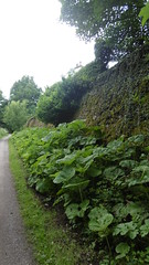 Former retaining wall nr Poynton  (Marple - Macclesfield  old railway) (dave_attrill) Tags: marpletomacclesfieldrailway disused railway line trackbed path mslr cheshire beeching rose hill cycle report cuts closed 1970 opened 1869 june 2017 retainingwall poynton remains stonework weeds overgrowth middlewoodway