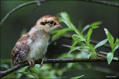 Hazel Grouse chick / Птенец рябчика / Tetrastes bonasia (Dmitry Kulakov) Tags: hazelgrouse chick рябчик tetrastesbonasia