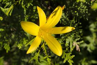 Liliowiec ogrodowy - Hemerocallis hybrida